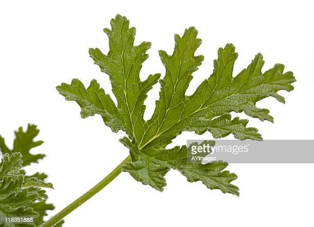 rose geranium (pelargonium graveolens) leaf on white - midsommarblomster bildbanksfoton och bilder