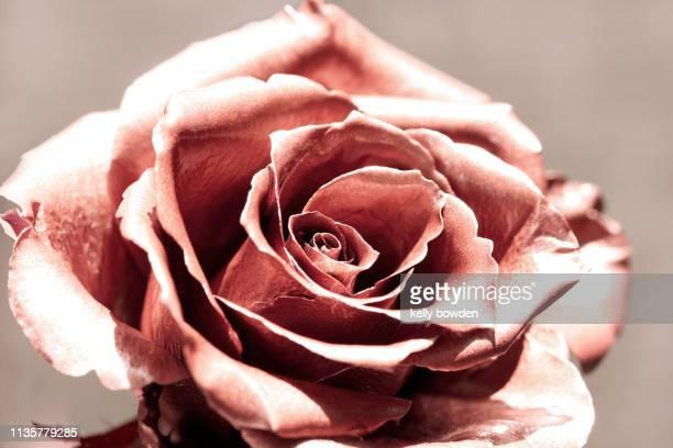 rose gold flower, coral, beauty, rose flower - ローズゴールド ストックフォトと画像