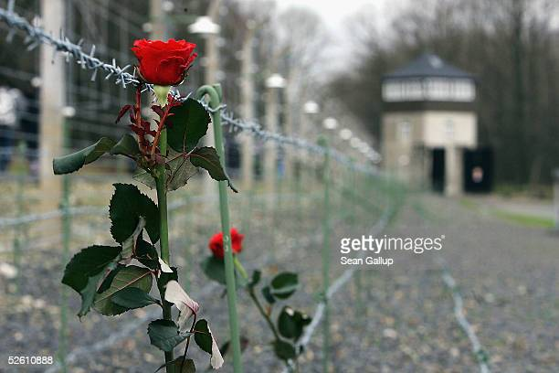 A rose hangs secured to the barbed wire fence prior to ceremonies at the Buchenwald concentration camp April 10 2005 in Buchenwald Germany The...