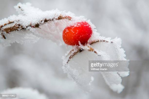 Rose hip (Rosa canina) covered with snow and hoarfrost, Hesse, Germany