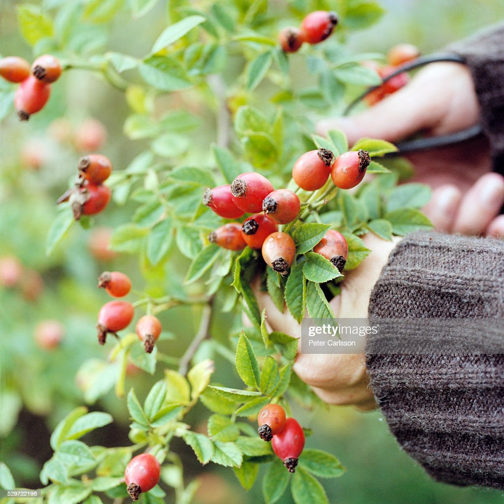 Rose Hips being Picked : Stock-Foto