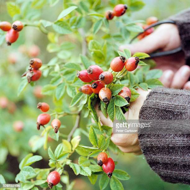 Rose Hips being Picked
