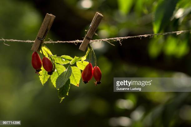 rose hips on the line