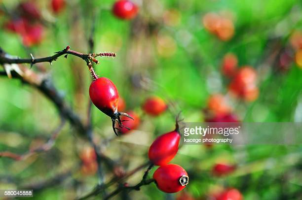 rose hips - dog rose stock photos and pictures