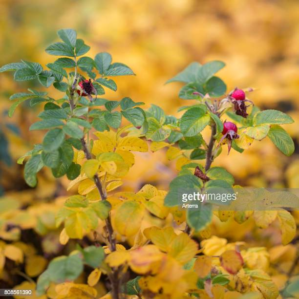 Rose hips / rose haws of Rosa species in autumn