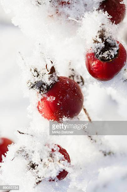 Rose hips with ice crystals