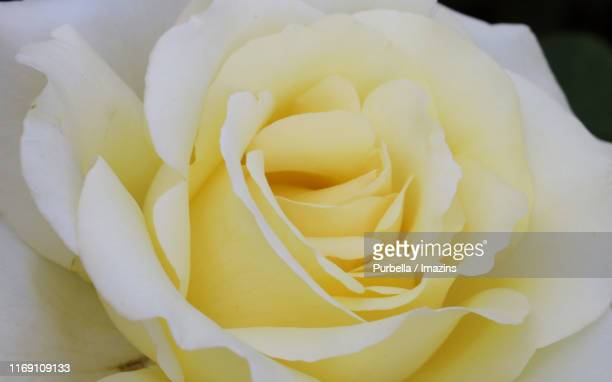 rose in may, seoul, south korea - purbella stock photos and pictures