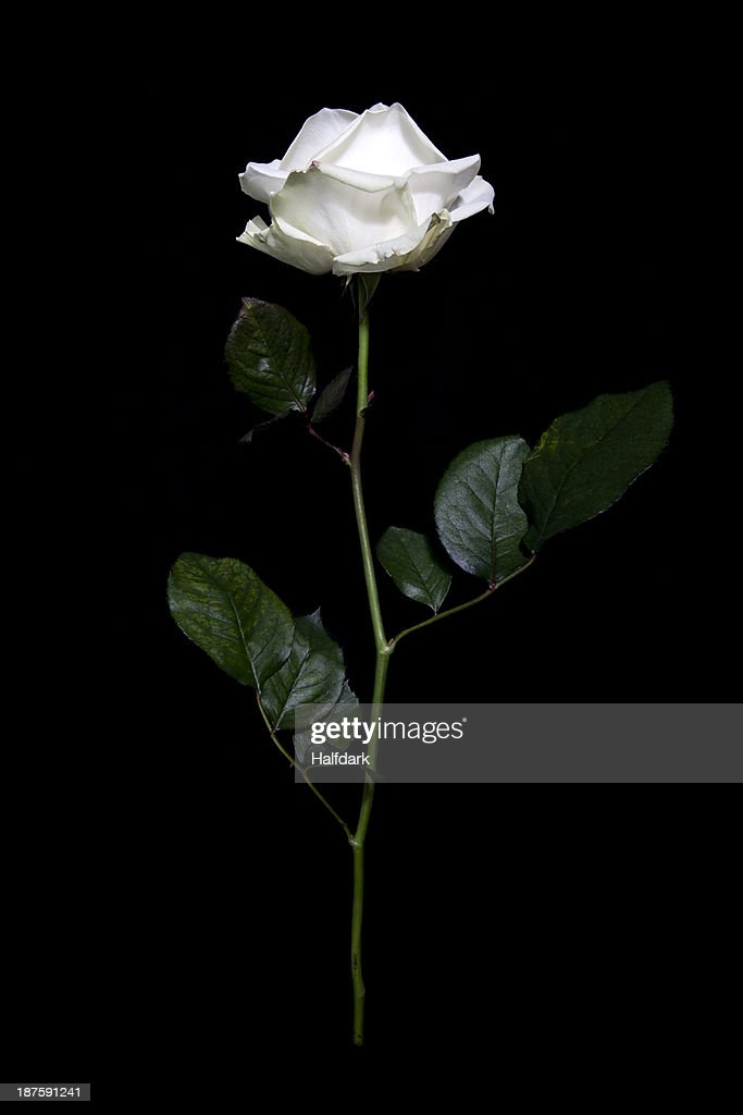 A rose in mid-air against a black background : Stock Photo