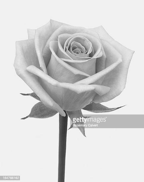 A rose in shades of grey