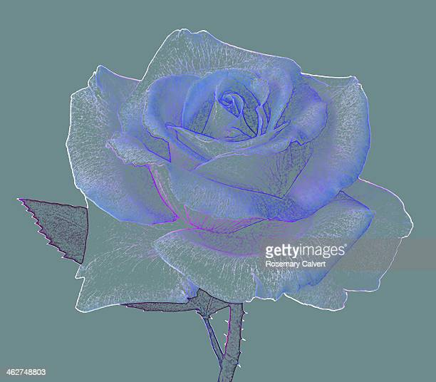 Rose in soft blues and white