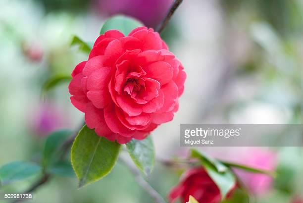 Rose in the Botanic Garden, Madrid
