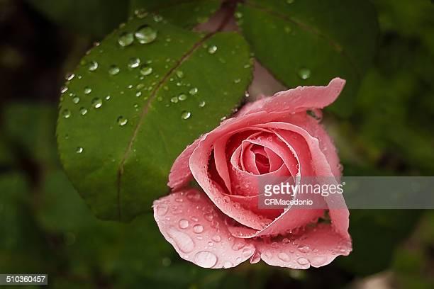 rose in the rain - crmacedonio stockfoto's en -beelden