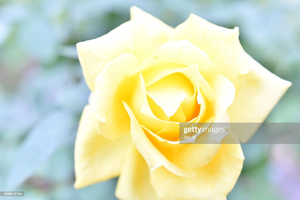 Rose In Tokyo High-Res Stock Photo - Getty Images