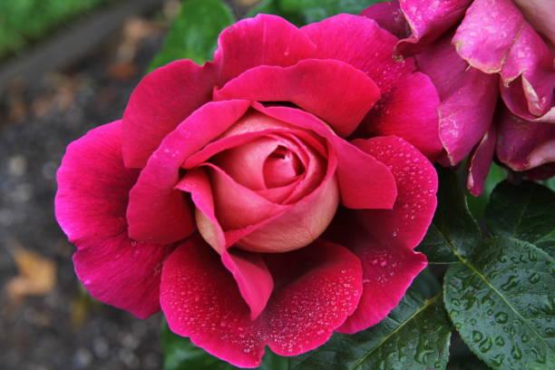 Rose 'Kronenbourg'