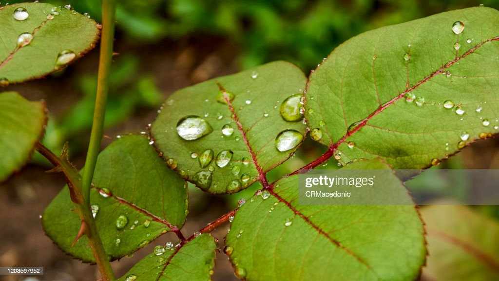 Rose leaves wet by raindrops. Beautiful! : Stock Photo