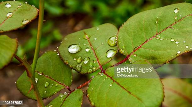 rose leaves wet by raindrops. beautiful! - crmacedonio imagens e fotografias de stock