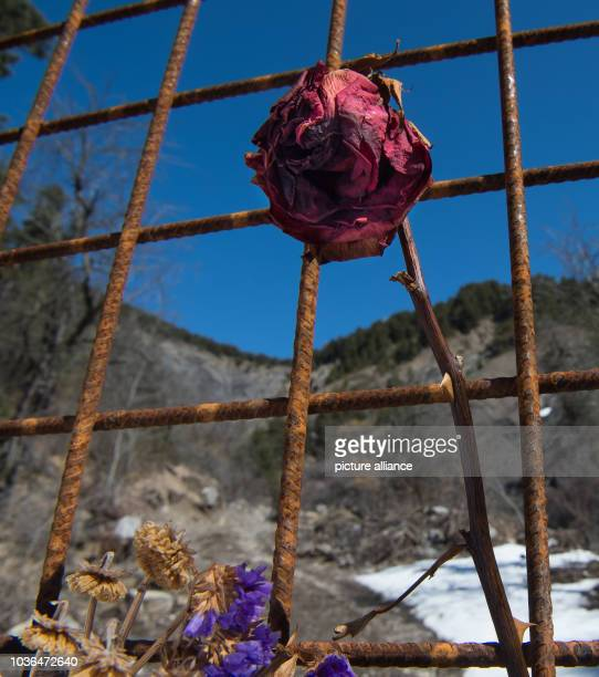 A rose left there by family members pictured on a metal fence near the Col de Mariaud area where Germanwings flight 4U9525 crashed on 24 March 2015...