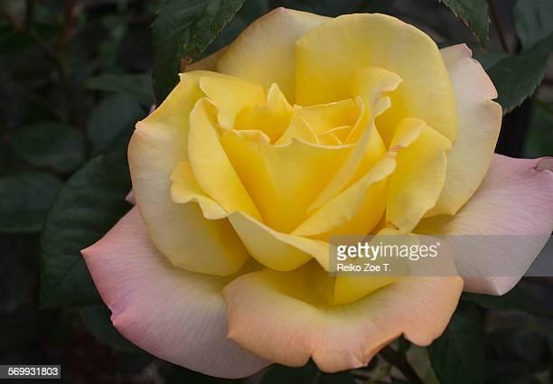 Hybrid Tea Rose Photos and Premium High Res Pictures ...