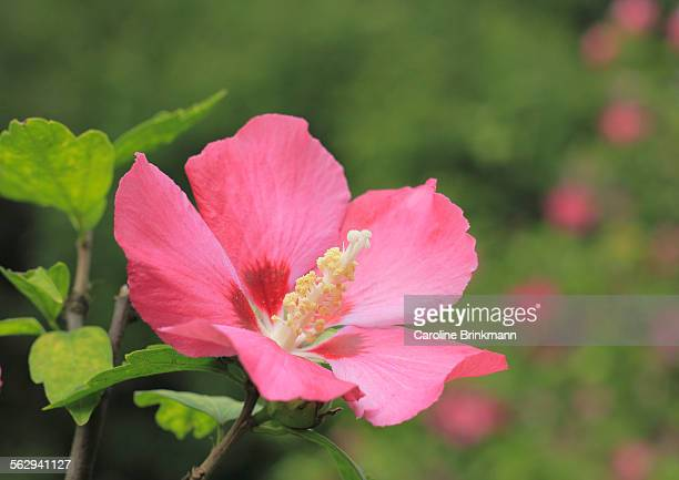Rose mallow -Hibiscus syriacus-, NRW, Germany