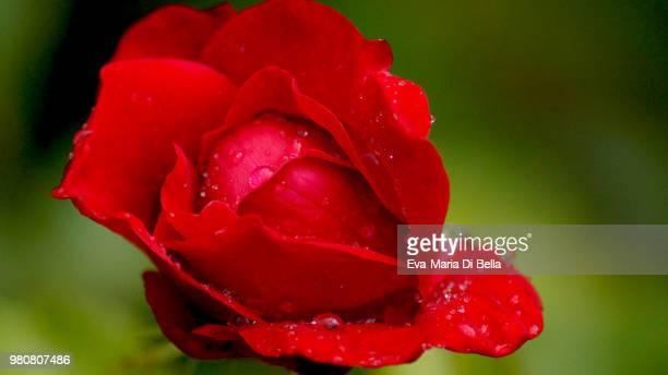 rose mit regentropfen - rose with raindrops - regentropfen stock pictures, royalty-free photos & images