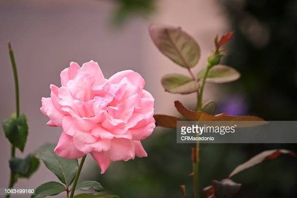 rose of pink color. - crmacedonio stock photos and pictures