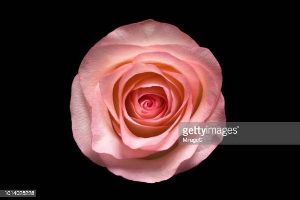 rose on black background - pale pink stock pictures, royalty-free photos & images