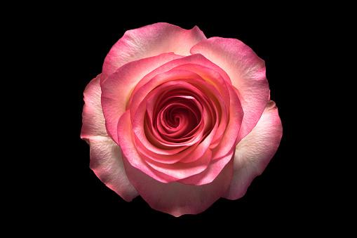 Rose on Black Background - gettyimageskorea
