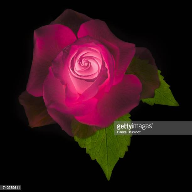 rose on black, digitally altered, bethesda, maryland, usa - hot pink stock photos and pictures