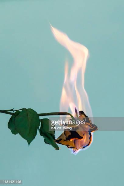 rose on fire - 燃える ストックフォトと画像