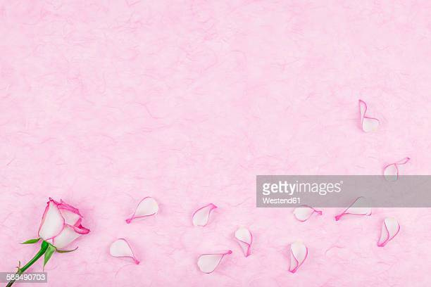 rose pedals on pink tissue paper, copy space - rose petals stock pictures, royalty-free photos & images