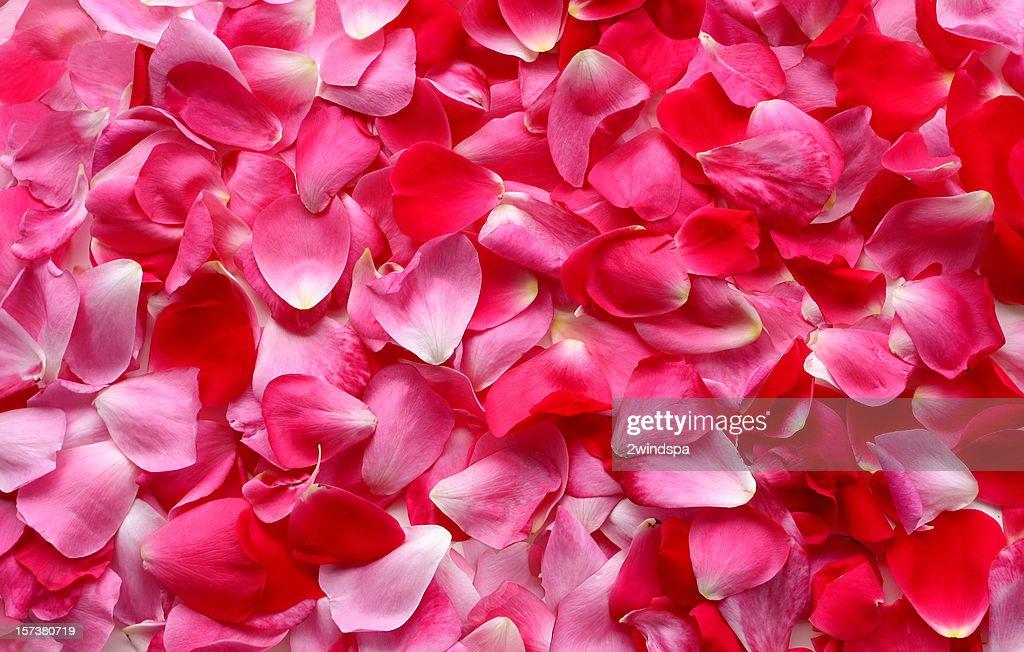 Rose Petal Background : Stock Photo