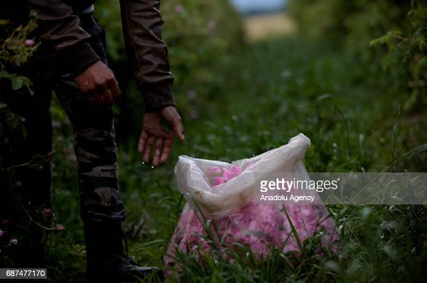 Rose petals are seen as the sunrise near the village of Rosino some 140km from Sofia Bulgaria 23 May 2017 Bulgaria is one of the main producers of...