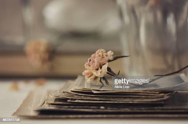 rose & photos - de arquivo imagens e fotografias de stock