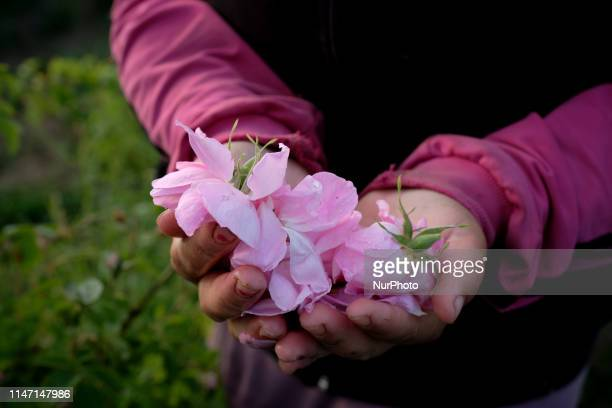 Rose picker Stanimira holding freshly picked roses in her hands She and others work for about a month in the fields owned by Intermed a Bulgarian...