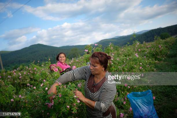Rose picker Stanimira left and her mother Maria working in the fields owned by Intermed a Bulgarian company that produces rose and other herb...