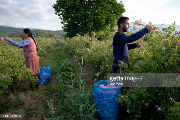 Rose pickers working in the early morning in the fields owned by the Bulgarian rose and herb distillation company Intermed The rose pickers work for...