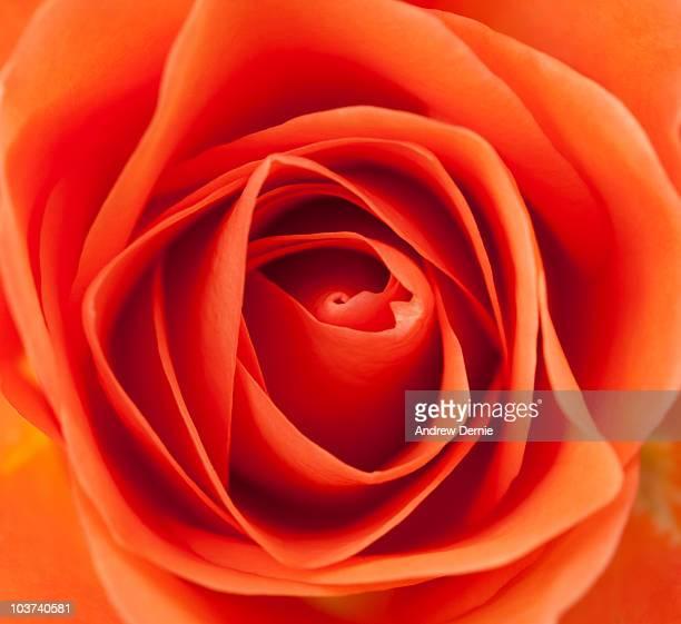 rose - andrew dernie foto e immagini stock