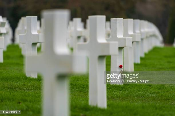 a rose - d day stock pictures, royalty-free photos & images