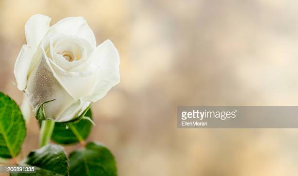 rose - rose foto e immagini stock