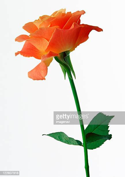 rose - pflanzenstängel stock-fotos und bilder