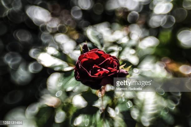 rose - radicella stockfoto's en -beelden