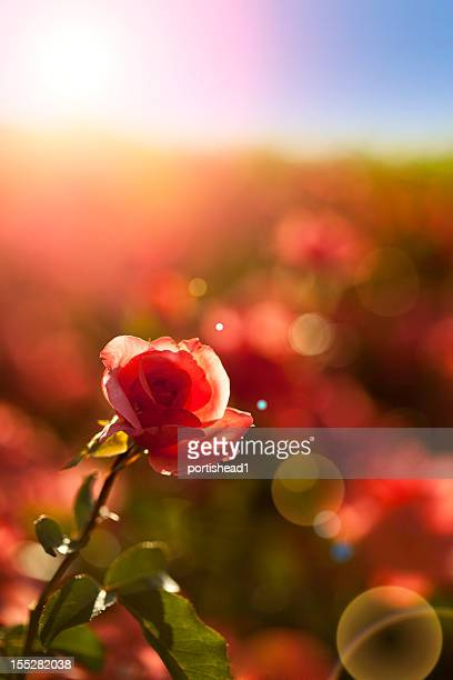 rose - red roses garden stock pictures, royalty-free photos & images