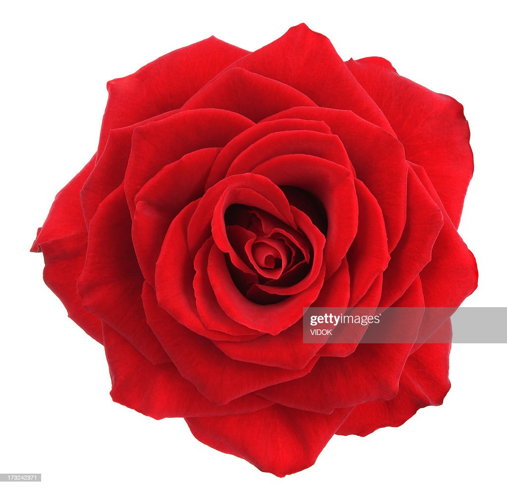 Rose High-Res Stock Photo - Getty Images