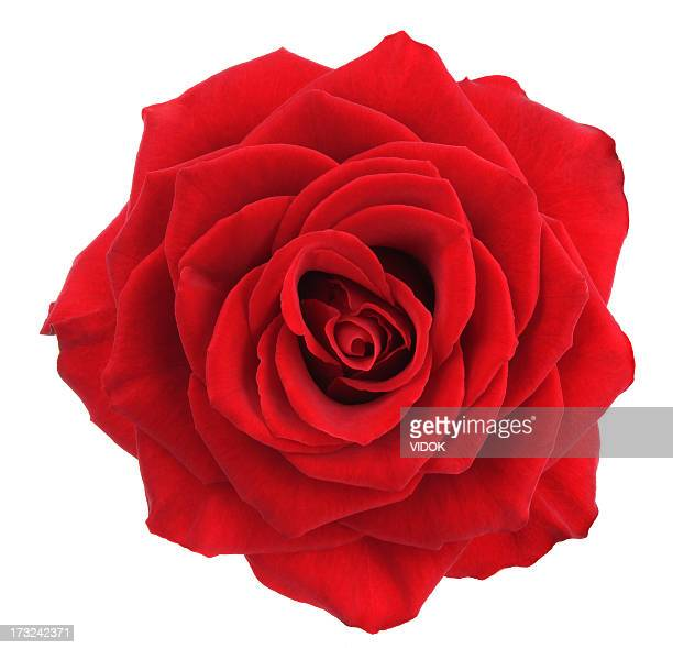 rose. - red roses stock pictures, royalty-free photos & images