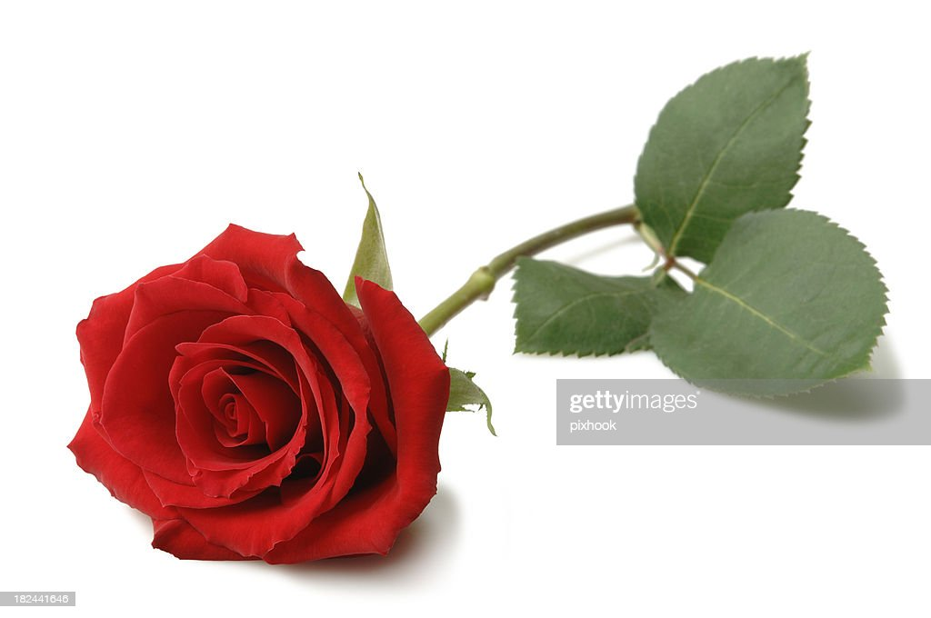 Rose Stock Photo Getty Images