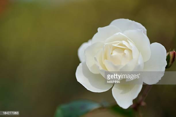 rose, - midsommar bildbanksfoton och bilder