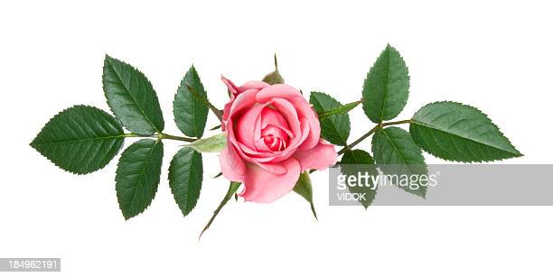 rose. - rose stock pictures, royalty-free photos & images
