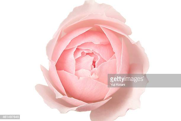 rose - single flower stock pictures, royalty-free photos & images