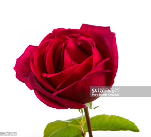 rose - red roses stock pictures, royalty-free photos & images