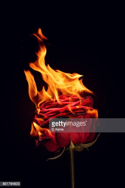 rose - burning stock pictures, royalty-free photos & images